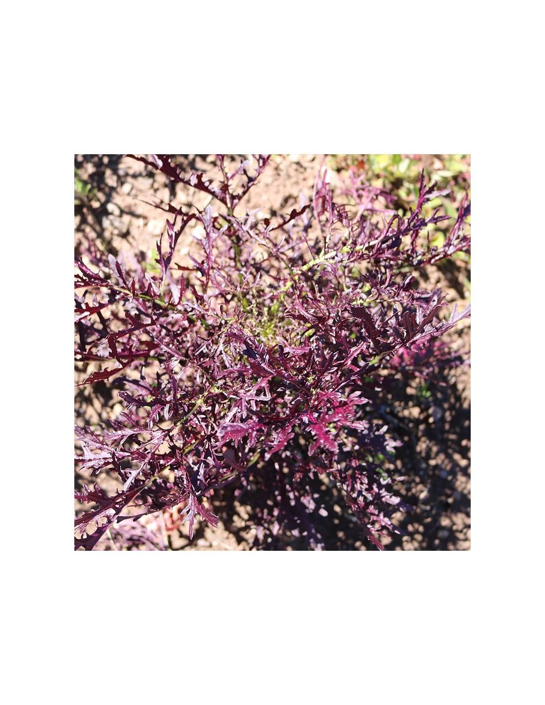 Verdura Asiática 'Rouge Metis'