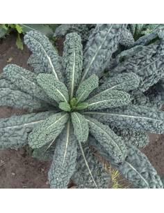 Couve Nero Di Toscana sementes biológicas