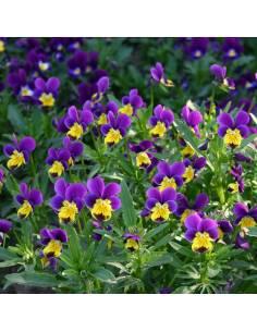 Amor-Perfeito sementes biológicas