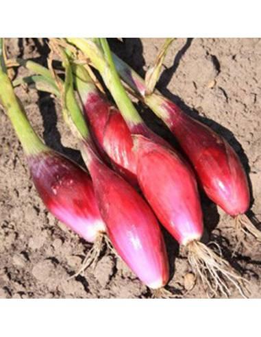 Cebola Rosso di Firenze sementes biológicas