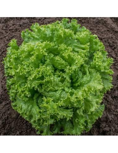 Alface Lollo Bionda sementes biológicas