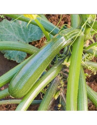 Curgete Zuboda sementes biológicas