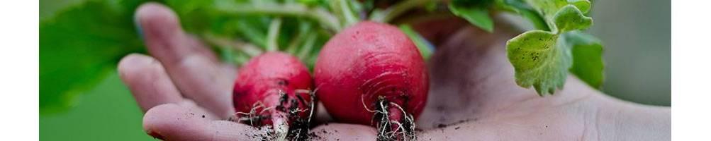 Rábano | Comprar Semillas Ecológicas | Sementes Vivas